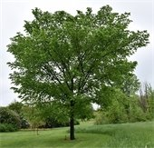 Valley Forge Elm Tree