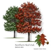 Northern Red Oak Tree Image