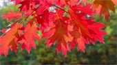 Northern Red Oak fall leaves